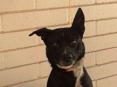 German Shepherd Dog dog for Adoption in pomona, CA. ADN-518209 on PuppyFinder.com Gender: Female. Age: