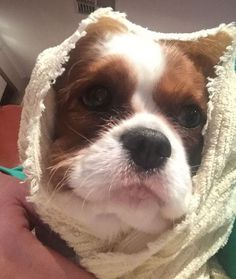 It's raining again! I couldn't help but get wet so Mum had to wrap me up in a towel... She says I look like E.T! 👽🐶 #ETphonehome #teddyturner #theodorable #ckcs #ckcspuppy #cavalierkingcharlesspaniel #cavalier #cavlife #cavalierkingcharles #cavaliersofinstagram #cavalierworld #itsacavthing #pupstagram #puppiesofinstagram #puppylove #puppygram #puppylife #puppyoftheday #dogofthday #dogsofinstagram #blenheimcavalier #blenheimpuppy #cavstagram #cavstyle #cavaliercorner