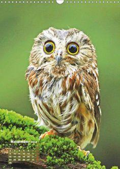 Die Eulen sind los: Edition lustige Tiere - CALVENDO Kalender - http://www.calvendo.de/galerie/die-eulen-sind-los-edition-lustige-tiere/ - #owls #eulen #eulenkalender #kalender #tierfotografie