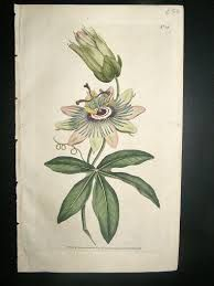 Image result for botanical illustration W Curtis