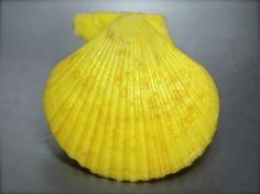 Pecten chlamys senatoria, Philippines, 70,5 mm