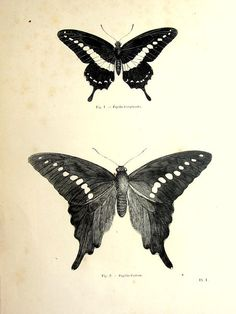 Antique butterfly print, original 1860 lepidoptera french engraving, insect plate illustration, vintage papillon zoology animal for framing.