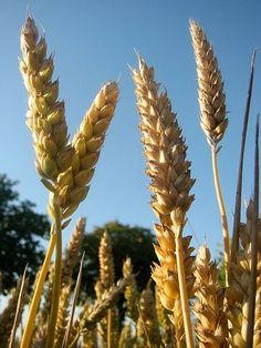 Odd wheat immune reactions are found in folks with bipolar disorder.