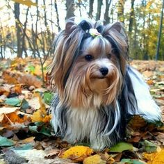 """Get excellent pointers on """"yorkshire terrier dogs"""". They are actually accessible for you on our website. Yorkies, Pomeranian Puppy, Chihuahua, Biewer Yorkshire, Yorkshire Terrier Puppies, Teacup Yorkie, Teacup Puppies, Schnauzers, Cute Little Puppies"""