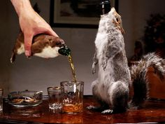 Cunning stunt! BrewDog are giving away bottles of the world's strongest beer encased in a taxidermy squirrel http://www.independent.co.uk/life-style/food-and-drink/brewdog-worlds-strongest-beer-squirrel-bottle-the-end-of-history-a7436201.html