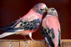Rosey Bourke Parakeets