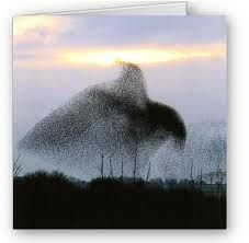 A murmuration of Starling, UK  - Looks like a giant bird rising
