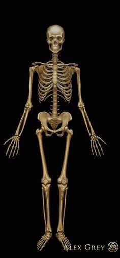 ☆ Skeletal System :¦: Artist Alex Grey ☆