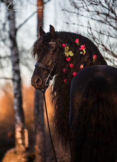 Beautiful - Friesian horse with rose braid at sunset by Camilla Olsson.