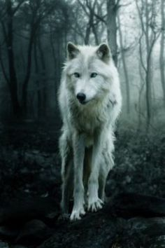 """#wattpad #werewolf Highest Ranking: #37 in Werewolf (01/07/16)  (Title was changed from """"No Distractions The Black Moon Legend"""" to """"The Black Moon Legend"""")  From the very first day I started high school my mother always told me, before I left my house.   """"Stay away from boys! Focus on your school work! Don't get dist..."""