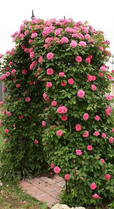 "Beautiful arbor covered in Zephrine Drouhin Climbing Rose - big 4"" semi-double blooms of bright pink, blooms in spring and fall, fragrant, dark green leaves, canes are thornless, can do well with just morning sun"