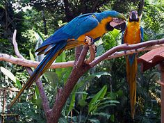 Blue-and-yellow Macaw - Macaw Mountain Bird Park - Copan Ruinas, Honduras: The Blue-and-yellow Macaw (Ara ararauna), also known as the Blue-and-gold Macaw, is a member of the group of large Neotropical parrots known as macaws. It breeds in forest (especially varzea, but also in open sections of Terra Firme) and woodland of tropical South America from Trinidad and Venezuela south to Brazil, Bolivia, Colombia, and Paraguay. It barely extends into Central America, where restricted to Panama. It…