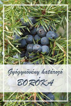 A Boróka, közönséges népies neve: Borovicskafenyő, gyalogfenyő, közönséges boróka. Hogyan gyűjtsük a Boróka, közönséges gyógynövényt? Juniperus Communis, Herbal Medicine, Doterra, Superfoods, Blueberry, Herbalism, Essential Oils, Herbs, Fruit
