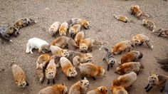 Fox Village tourists in Japan can feed six breeds of foxes  | Daily Mail Online