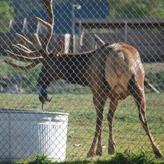 A four-year-old elk takes a drowning tiny marmot out of the pail in Pocatello Zoo, Idaho. The elk also makes sure that the marmot is alive before seeing it running into the bushes