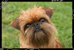 brussels griffon, it looks like a monkey :)