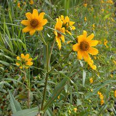 Bidens Cernua/Nodding Bur Marigold.  Sceachog Mhuire - Mary's Little Thorn Bush. 1/2-3ft tall, flowers late summer/early autumn for 1-2 months.