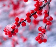 winter berry - Google Search