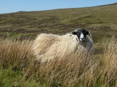 pictures of scottish blackface sheep | Scottish Blackface sheep