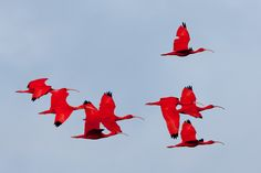 This is the real color of these birds, an amazing sight. Bird Food, Scarlet, Rooster, Birds, Color, Friends, Animals, Amigos, Colour