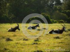 A view of a three Bontebok lazing on grassland in the afternoon. Elephant Images, African Animals, Zebras, Giraffe, Felt Giraffe, Giraffes