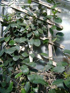 Stephanotis floribunda - Madagascar Jasmine
