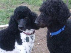 Beautiful Standard Poodle puppies are ready for their forever homes. They are sooooo sweet!