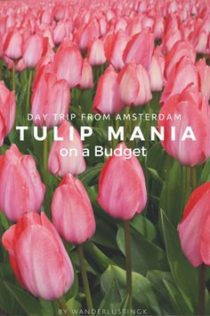 Dutch Tulip Mania On a Budget by Wanderlustingk. 5 Tips to guarantee that you'll see tulips in the fields when you visit Holland for budget travelers. and nature lovers.