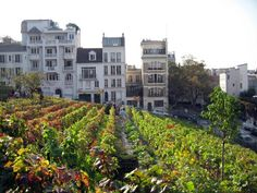 Tip van Mr. Vino: wijnfeest in de Parijse (!) wijngaard in Montmartre » Culy.nl