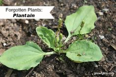 Forgotten Plants: Plantain | There is probably no need for you to plant plantain, as it grows naturally just about everywhere. If somehow your garden is without it, or you want to add a dedicated patch in your medicinal herb garden, it can be grown from seed and prefers a sunny location. | GNOWFGLINS.com