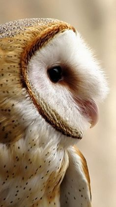 Barn Owl Information and Pictures - Eule Owl Photos, Owl Pictures, Especie Animal, Mundo Animal, Beautiful Owl, Animals Beautiful, Animals And Pets, Cute Animals, Funny Animals