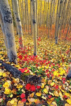 ✯ Autumn Boreal Forest - Fairbanks, Alaska - lived here for 3 years, beautiful! Aspen Leaf, Aspen Trees, Beautiful World, Beautiful Places, Gaia, Fairbanks Alaska, Tree Forest, Autumn Forest, Autumn Fall