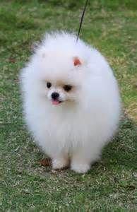 perro pomerano blanco