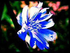 Title  Blue Chicory Love  Artist  Allicat Photography  Medium  Photograph - Digital Photography