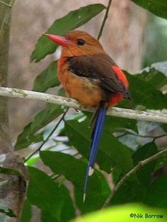 Brown-Headed Paradise Kingfisher, a.k.a. the Russet Paradise Kingfisher. Endemic to Papua New Guinea. Habitats are temperate & subtropical or tropical moist lowland forests. http://www.birdquest-tours.com/gallery