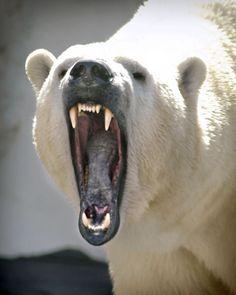 41Polar Bear