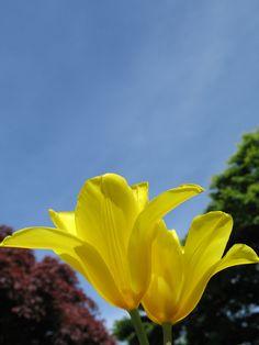 Yellow tulips.  #Flower #Spring