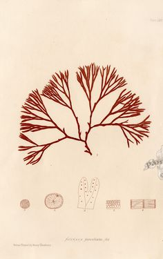 Nature Printed Seaweed by Henry Bradbury 1859