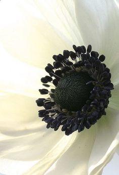 black and white Japanese anemone Amazing Flowers, Beautiful Flowers, Exotic Flowers, Anemone Flower, White Anemone, Cactus Flower, Fotografia Macro, Black Flowers, Yellow Roses