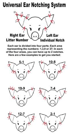 pig ear notching | Ear Notch Diagram
