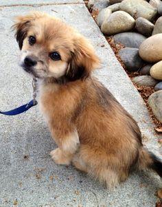 Julian 7 month old male Tibetan Spaniel cross Chihuahua