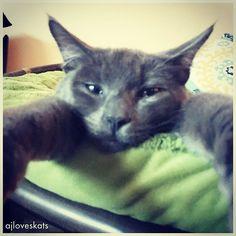 Frodo practices his #sleepyhead look in this adorable #sundayselfie  #furbaby #russianblue #catlover #adoptdontshop #catsofig #ilovemycat #kitten #instacute #meow #purrfect #crazycatlady #cat #cutecat #katze #gato #mygreatcat