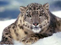 leopardo delle nevi.jpg