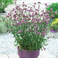Verbena bonariensis 'Lollipop' plug plants | Thompson & Morgan