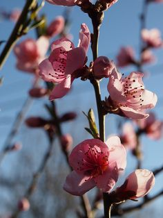 Cherry blossom.     P4111030 by Photoit3, via Flickr