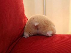 hamster bottoms up! Almost as cute as a Corgi butt! Cute Funny Animals, Cute Baby Animals, Small Animals, Funny Rats, Hilarious, It's Funny, Funny Quotes, Funny Memes, Cute Images