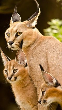 "The caracal is a medium sized cat which it spread in West Asia, South Asia, and Africa. The word Caracal is from Turkey ""Karakulak"" which means ""Black Ears"". Here is all about caracal as a pet. Caracal Cat, Serval, Baby Caracal, Beautiful Cats, Animals Beautiful, Beautiful Family, Big Cats, Cats And Kittens, Small Wild Cats"