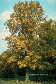 Swamp White Oak is an extremely tough, native shade tree which will add texture and interest to the landscape. Swamp White is one of the fastest growing and most popular Oaks available for landscape use.