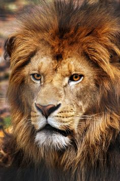 Lion, Beautiful Close up. powerful, older, mature, wise lion here. Wild Animals Pictures, Lion Pictures, Animal Pictures, Beautiful Lion, Animals Beautiful, Image Lion, Animals And Pets, Cute Animals, Wild Animals Photography