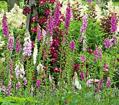 Digitalis purpurea Excelsior Hybrids  Common Name: Foxglove  Hardiness Zone:  4-8 S / 4-10 W  Height: 4'  Deer Resistant: Yes  Exposure: Full or Part Sun  Blooms In: June-July  Spacing: 12-18""